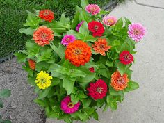 Zinnia 'Dreamland Mix' (Zinnia elegans): heat tolerant in well drained soil with early morning watering; 1' high x 0.5-1' wide; multi-colored blooms from Spring into Fall~ Other colors available are Yellow, Red, Pink & Ivory~