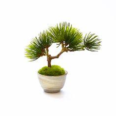 盆栽 bonsai ぐいのみ  ギンモクセイ / Sakecup   カップボンcupbon  美濃焼 松