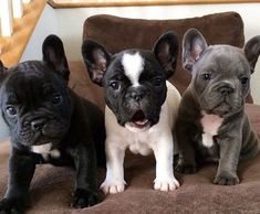 The major breeds of bulldogs are English bulldog, American bulldog, and French bulldog. The bulldog has a broad shoulder which matches with the head. Animals And Pets, Baby Animals, Funny Animals, Cute Animals, Cute Puppies, Cute Dogs, Dogs And Puppies, Doggies, Cheap Puppies
