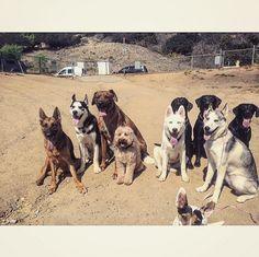 Big dog squad at Laurel Canyon Dog Park - Studio City, CA - Angus Off-Leash #dogs #puppies #cutedogs #dogparks #studiocity #california #angusoffleash #bigdogs
