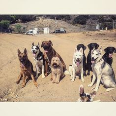 Big dog squad at Laurel Canyon Dog Park - Studio City, CA - Angus Off-Leash #dogs #puppies #cutedogs #dogparks #studiocity #california #angusoffleash #bigdogs