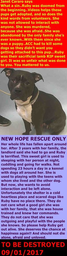 RUBY MURDERED 09/01/17 --- Manhattan Center My name is RUBY. My Animal ID # is A1123489. I am a female black and white pit bull mix. The shelter thinks I am about 3 YEARS old. I came in the shelter as a OWNER SUR on 08/27/2017 from NY 10002, owner surrender reason stated was NO TIME. http://nycdogs.urgentpodr.org/ruby-a1123489/