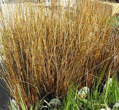 Carex buchananii 1