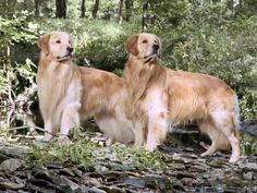 Google Image Result for http://wallpapers.bassq.nl/Homepats/Golden%2520Retrievers/Two%2520Champion%2520Golden%2520Brothers.jpg