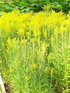 Tarhapiisku. Korkeus 50-60 cm. Kukkii heinä-syyskuussa. Kasvupaikka aurinko-puolivarjo,  kuivahko hiekkamultaa.
