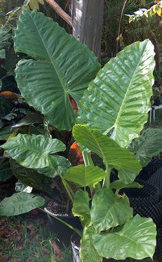 Alocasia Green Giant