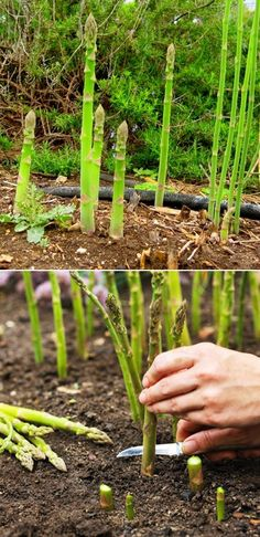 How to Grow Asparagus Crowns.. my Dad grew it when were younger...need to try my own hand at it...guess it's too late for this year