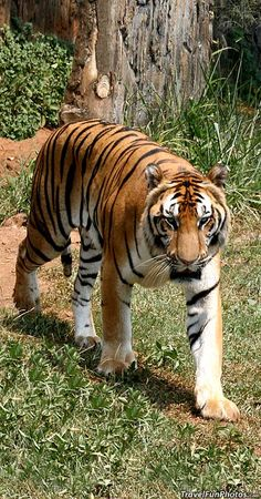 Beautiful Tiger in Jakarta, Indonesia