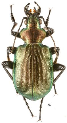 Calosoma inquisitor - Found in northern Africa, Europe (northward to Scandinavia) and Asia, this ground beetle is of the family Carabidae