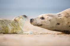 """Mum's kiss - This mum was so tender with her newborn seal. It was so nice watching them bond :)  Follow me @ facebook: <a href=""""https://www.facebook.com/animalshotsdotcom"""">https://www.facebook.com/animalshotsdotcom</a>"""