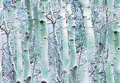 Image result for birch forest