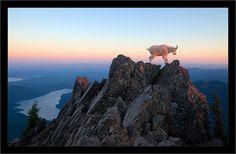 Mountain Goat, Mt Ellinor, Washington