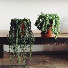 String of Pearls & Donkey's Tail