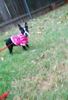 My Boston Terrier, Figgy, at 3  1/2 months old.