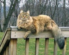 @Juliann Salber maybe ginger is part this?!?!  The Maine Coon. One of the largest breeds of domestic cats.