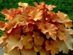 Heuchera collection - 6 large plants, different & named - Bigger than plug plants!