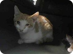 Brooklyn, NY - Domestic Shorthair. Meet BEULAH, a kitten for adoption. http://www.adoptapet.com/pet/13630720-brooklyn-new-york-kitten
