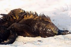 Iguana from the Galapagos Islands