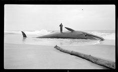 Whale on beach of Cape Cod, Leslie Jones 1934. Boston Public Library