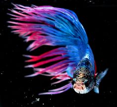 Betta is a fighting fish or Siamese fighting fish .These species are native to the Mekong basin of Laos, Cambodia, Vietnam and Thailand. The fish can be found in vast standing waters of canals, rice paddies and floodplains. Fish Fin, Fisher, Fishing World, Fish Care, Siamese Fighting Fish, Beautiful Fish, Freshwater Fish, Betta Fish, Tropical Fish