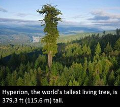 The world's tallest tree, called Hyperion, is a coast redwood (Sequoia sempervirens) in RedWood National Park, Northern California, that was measured at metres ft). Hyperion was discovered August 2006 Sequoia Sempervirens, Giant Tree, Big Tree, Redwood Forest California, All Nature, Wtf Fun Facts, Random Facts, Strange Facts, Guinness