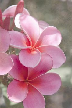 Pink Plumeria. This is my favorite flower! (Along with a few others - it's a tie). I don't know what is more beautiful – smelling them or looking at them!