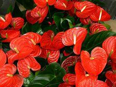 #Antúrio (Anthurium Andraeanum): Como toda planta tropical, necessita de temperaturas acima de 15º C e meia luz (não pode ficar no Sol direto). Deixar a terra do vaso sempre úmida e aerada, regando de 2 a 3 vezes por semana, sendo que uma delas pode ser feita por cima da planta. Transplantando, conforme o tamanho, o antúrio pode crescer até a altura de 90 cm. #Flores #Tropicais #Corte #Agronomia