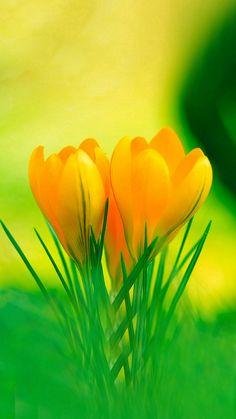 Nothing found for Seasons Spring Seasons Yellow Crocus Desktop Wallpaper My Flower, Yellow Flowers, Spring Flowers, Beautiful Flowers, Easter Flowers, Unique Flowers, Colorful Flowers, Yellow Flower Wallpaper, Yellow Crocus