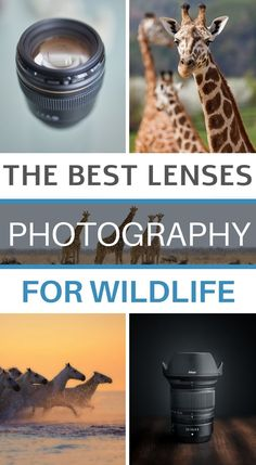 If you're interested in wildlife photography, this article might be for you. I propose you a guide of the best lenses for wildlife photography, explaining the different lens possibilities according to brands and sensor sizes! Wildlife Photography Tips, Photography Basics, Photography Tips For Beginners, Light Photography, Landscape Photography, Learn Photography, Wild Animals Pictures, Focal Length, Shutter Speed