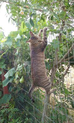 Pulando a cerca. Gatos não tem obstáculos.
