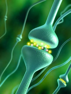 Duke University researchers have discovered that mice genetically deficient in serotonin are more vulnerable than their normal litter mates to social stressors. Serotonin is an important brain neurotransmitter and is a chemical often implicated in clinical...