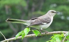 Moqueur Polyglotte // Spottdrossel // Northern Mockingbird (Mimus Polyglottos) ~ suis sous le charme ❤ il est vraiment très beau #birds #oiseaux