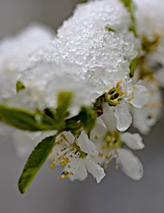 #spring #flowers #snow #kevät kukkia #lunta #painting #macro #Finland #nature #