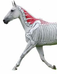 fantastic resources to help you visualize equine anatomy
