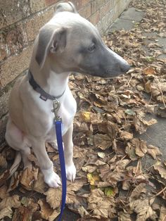 Autumn leaves and a whippet!