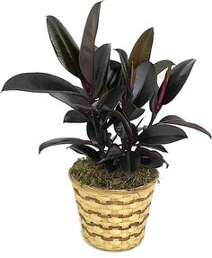 "Ficus Elastica ""Burgundy"" ~ Rubber Plant [Just bought one of these. So happy!]"