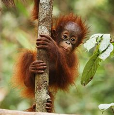 orangutans | the orangutans scientifically known as pongo pigmaeus is the only ...