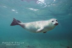 Pacific Harbor Seal Photo, Stock Photograph of a Pacific Harbor Seal, Phoca vitulina richardsi, Phillip Colla Natural History Photography Animals And Pets, Baby Animals, Cute Animals, Monk Seal, Cute Seals, Harbor Seal, Seal Pup, Underwater Creatures, Koh Tao