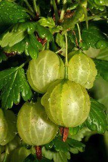 Stachelbeere 'Mucurines'   hellgrün - Ribes uva-crispa 'Mucurines'