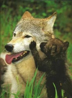 Family, Love, Trust and Friends. These are the things that are most important to a wolf. I am so fascinated of these animals Animals And Pets, Baby Animals, Cute Animals, Wolf Spirit, My Spirit Animal, Beautiful Creatures, Animals Beautiful, Wolf Pup, Wolf Love