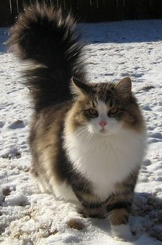 Siberian cats have been around for many years. As the name suggests, they come from Siberia, one of the hardest climate zones of Russia. In ...