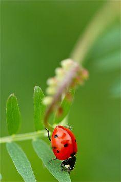 ladybug on leaf More At FOSTERGINGER @ Pinterest ⛵️❤️️