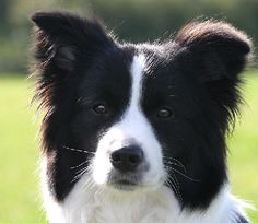 Border Collies have such sweet faces