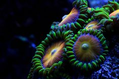 Tahitian Treat zoanthids by Cyberskrimps, via Flickr Acropora Coral, Nano Cube, Soft Corals, Deep Sea, Beautiful Creatures, Fresh Water, Aqua, Nature, Photos