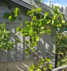 Slik tar jeg enkelt stikling av drueranke Planters, Planter Boxes, Plant, Flower Pots, Pots