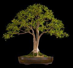 Jaboticaba bonsai - indoor