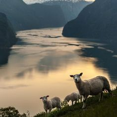 Our official spokes-sheep in Fjord Norway Frida enjoying the incredible views (and the grass)  @sheepwithaview  @georgetheexplorer #Norway #sheepwithaview