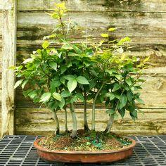 Bonsai Tree Specimen Japanese Beech 7 Tree Grove JBG7ST-728 in Home & Garden, Yard, Garden & Outdoor Living, Plants, Seeds & Bulbs | eBay
