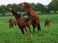 spelende paarden