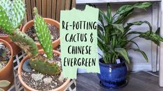 Springtime is the perfect time to repot some plants that may be outgrowing their pots. I had several cacti that needed new pots, including some cuttings. Indoor Gardening Supplies, Container Gardening, Cacti, Cactus Plants, Chinese Evergreen Plant, Florida Gardening, Visual Display, Balcony Garden, Beautiful Gardens